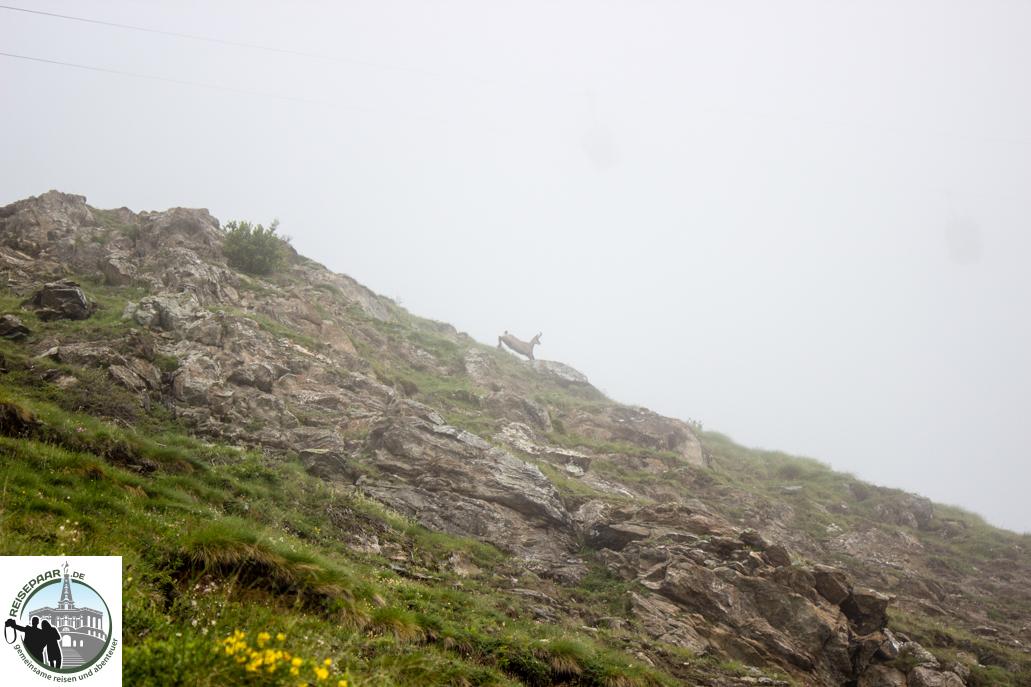 Eine Gämse auf dem Säumerweg in Zermatt